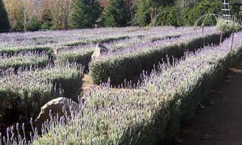 Ashcombe Maze And Lavender Gardens Thumbnail 4