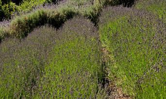 Ashcombe Maze And Lavender Gardens Thumbnail 6