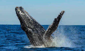 Sydney Whale Watching Cruise with BBQ Lunch - Buy One Get One FREE Special Offer Thumbnail 1