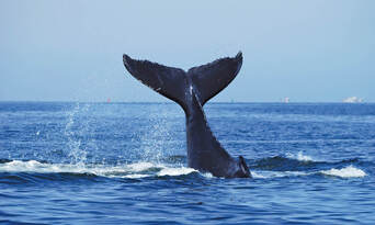 Sydney Whale Watching Cruise with BBQ Lunch - Buy One Get One FREE Special Offer Thumbnail 5