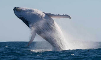 Mooloolaba 2 hour Whale Watching Experience Thumbnail 1