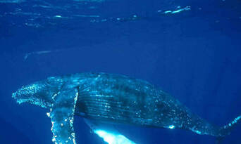 Mooloolaba 2 hour Whale Watching Experience Thumbnail 3
