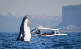 Sydney 2 Hour Whale Watching Adventure Cruise Thumbnail 1