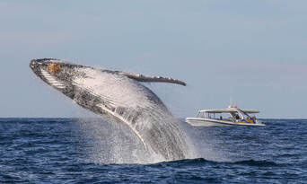 Sydney 2 Hour Whale Watching Adventure Cruise Thumbnail 2