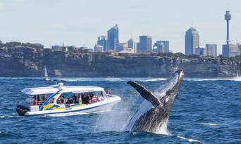 Sydney 2 Hour Whale Watching Adventure Cruise Thumbnail 4