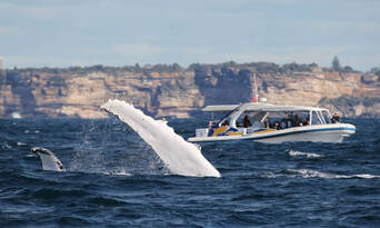 Sydney 2 Hour Whale Watching Adventure Cruise Thumbnail 5