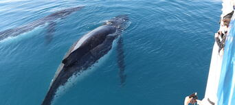 Hervey Bay Afternoon Whale Watch Cruise Thumbnail 3