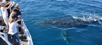 Whale Watching Cruise from Mooloolaba Thumbnail 4