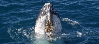 Whale Watching Cruise from Mooloolaba Thumbnail 1