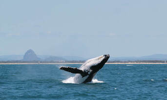 Whale Watching Cruise from Mooloolaba Thumbnail 5
