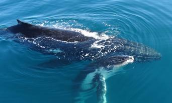 Whale Watching Cruise from Mooloolaba Thumbnail 6