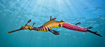 Scuba Diving Mornington Peninsula with Weedy Sea Dragons Thumbnail 1