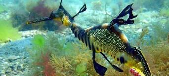 Mornington Peninsula Weedy Sea Dragons Snorkel Tour Thumbnail 3