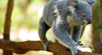 Lone Pine Koala Sanctuary with Return Scenic Cruise Thumbnail 2