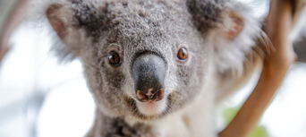 Breakfast with the Koalas at WILD LIFE Sydney Zoo Thumbnail 6