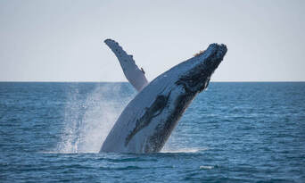 Hervey Bay Afternoon Whale Watching Cruise Thumbnail 4