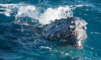 Hervey Bay Afternoon Whale Watching Cruise Thumbnail 2