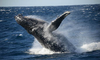 Whale Watching Jervis Bay Thumbnail 2