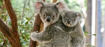 Lone Pine Koala Sanctuary Tickets Thumbnail 2