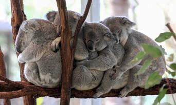 Lone Pine Koala Sanctuary Tickets Thumbnail 1