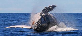 2.5 Hour Whale Watching Byron Bay Tour Thumbnail 3