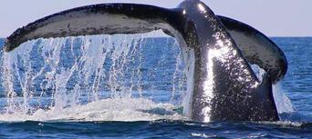 2.5 Hour Whale Watching Byron Bay Tour Thumbnail 4