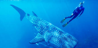 Swim with Whale Sharks Thumbnail 3