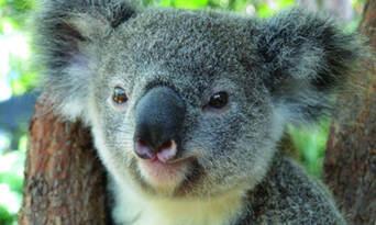 Kuranda Koala Gardens Entry Tickets Thumbnail 1
