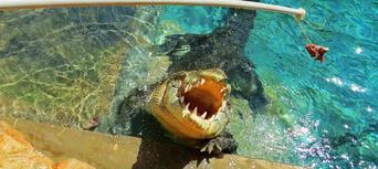 Hartleys Crocodile Adventures Croc Feed Experience Thumbnail 1