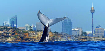 Sydney Whale Watching Cruise with BBQ Lunch Thumbnail 6