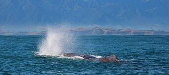 Whale Watching Cruise Kaikoura Thumbnail 2
