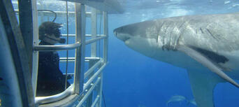 Cage Dive with Great White Sharks at Port Lincoln Thumbnail 2