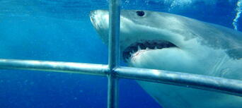 Cage Dive with Great White Sharks at Port Lincoln Thumbnail 6