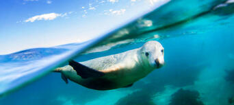 Swim with Sea Lions at Port Lincoln Thumbnail 1