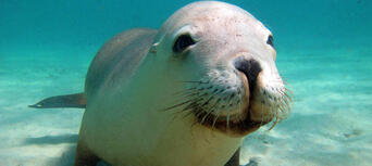 Swim with Sea Lions at Port Lincoln Thumbnail 2