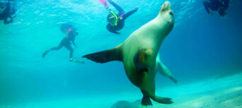 Swim with Sea Lions at Port Lincoln Thumbnail 3