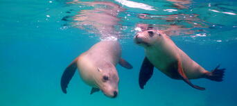 Swim with Sea Lions at Port Lincoln Thumbnail 4