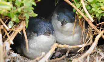 Phillip Island Nature and Wildlife Tour Thumbnail 4