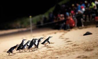 Phillip Island Penguins Day Tour Thumbnail 1