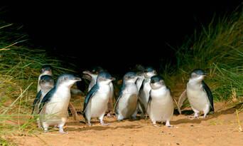 Phillip Island Penguins Day Tour Thumbnail 2