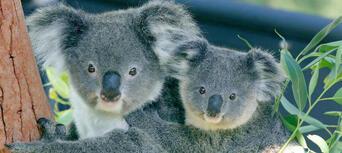 Taronga Zoo Entry including Sky Safari Cable Car and Ferry Pass Thumbnail 6