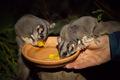 Exclusive Night Tours Bonorong Wildlife Sanctuary Thumbnail 1