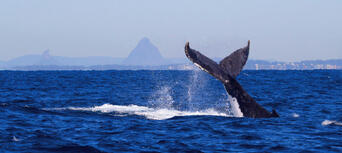 Swim with the Whales Tour from Mooloolaba Thumbnail 4