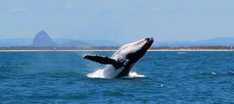Swim with the Whales Tour from Mooloolaba Thumbnail 5