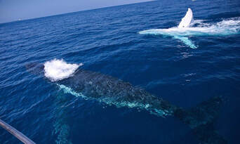 Small Group Whale Watching Tour from Mooloolaba Thumbnail 1