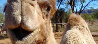 Alice Springs Noon Camel Ride Thumbnail 6