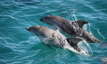 Sorrento Sightseeing Cruise With Dolphin And Seal Swim Thumbnail 4