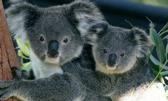 Taronga Zoo Entry and Harbour Ferry Pass with Sky Safari Thumbnail 4