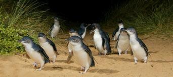 Phillip Island Nature Parks Penguin Parade Entry Thumbnail 4