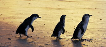 Phillip Island Nature Parks Penguin Parade Entry Thumbnail 6